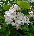 Viburnum × juddii.jpg