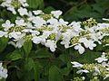 Viburnum plicatum mariesii - Flickr - peganum.jpg