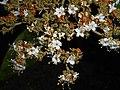 Viburnum rhytidophyllum 2016-05-17 0589.jpg