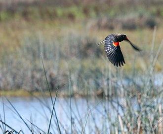 Vic Fazio Yolo Wildlife Area - A Red-Winged Blackbird in flight at the Vic Fazio Wildlife Area.