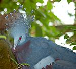 Victoria Crowned Pigeon Goura victoria Head 2200px.jpg