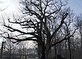 Villers en Argonne le chêne classé.jpg