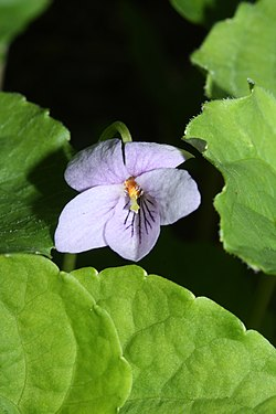 Viola palustris 6801.JPG