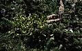 Viscum album subsp. abietis.jpg