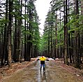 Vishu forest , KPK near Kalam.jpg