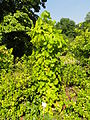 Vitis vinifera 'Silvaner' - Botanischer Garten, Frankfurt am Main - DSC03203.JPG