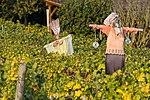 Vogelscheuche im Weinberg bei Thayngen SH.jpg
