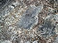 Volcanic bombs in basaltic lapillistone (Middle Tholeiitic Unit, Kidd-Munro Assemblage, Neoarchean, 2.711-2.719 Ga; just east of the Potter Mine, east of Timmins, Ontario, Canada) 6 (33988647728).jpg
