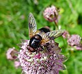 Volucella inflata.? male (16262138921).jpg