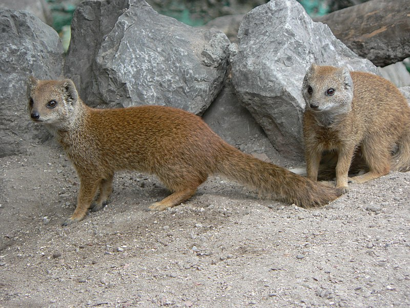 http://commons.wikimedia.org/wiki/File:Vosmangoesten_zoo_Lille.JPG  (two yellow mongoose wikipedia commons)