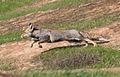 Vulpes vulpes at Eshel HaNasi 5, israel.jpg