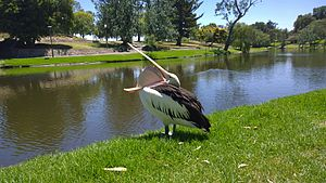 Australian pelican - Pelican showing length of beak and size of pouch
