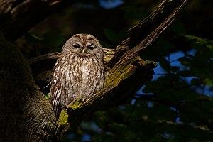 Tawny owl - Image: Waldkauz Strix aluco