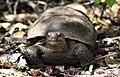 Walsingham gopher tortoise 20-09-04-01.jpg