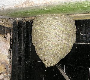 Vespula vulgaris - Nest composed of chewed wood fibers