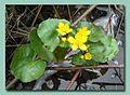Water flower - panoramio.jpg