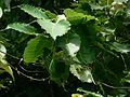 Waved-leaved Fig tree (1128033113).jpg
