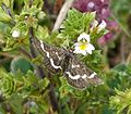 Wavy-barred Sable. Pyrausta nigrata. on Chalkhill Eyebright. Euphrasia pseudokerneri - Flickr - gailhampshire.jpg