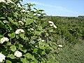 Wayfaring Tree - Viburnum lantana - geograph.org.uk - 1163906.jpg