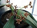 Welwitschia mirabilis (4736559921).jpg