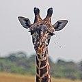 Western Serengeti 2012 06 02 4012 (7557762590).jpg