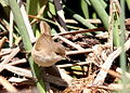 What bird is this? Anyone know LBJ? (6401059843).jpg