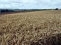 Wheat field - geograph.org.uk - 31769.jpg