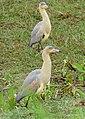 Whistling Herons (Syrigma sibilatrix) - Flickr - berniedup.jpg