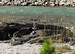 White-bellied Heron at Pho Chu, Bhutan.JPG