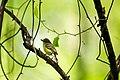 White-eyed vireo (40333303810).jpg