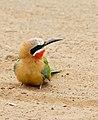 White-fronted Bee-eater (Merops bullockoides) (31428125244).jpg