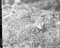 White-rumped sandpiper (68978).jpg