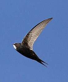White-rumped swift, Apus caffer, at Suikerbosrand Nature Reserve, Gauteng, South Africa (22724578894).jpg