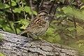White-throated Sparrow - Point Pelee - Ontario 11052017-FJ0A5318 (39815447571).jpg