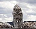 White Tiger 5 (3865013727).jpg