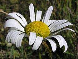 White and yellow daisy 01.jpg