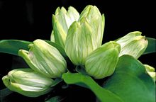 White gentian flower gentiana alba greenish white blossoms tipped in pink.jpg