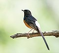 White rumped Shama Copsychus malabaricus Birds of Uttarakhand India 2014.jpg