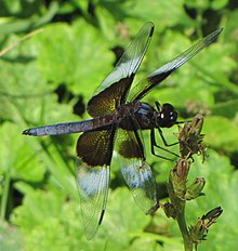 Widow Skimmer, male.jpg