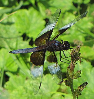 Widow skimmer species of insect