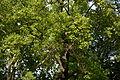 Wiener Naturdenkmal 561 - Tulpenbaum (Innere Stadt) j.JPG
