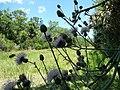 Wild Flowers - panoramio (11).jpg