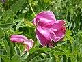 Wild Peony ( Paeonia mascula possibly) (44094613155).jpg