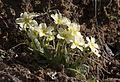 Wild primroses - Yabani Çuha çiçeği 03.jpg