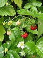 Wild strawberries - geograph.org.uk - 215105.jpg