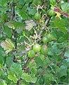 Wilde kruisbes bessen (Ribes uva-crispa wild plant).jpg