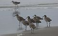 Willet, Tringa semipalmata, Moss Landing and Monterey area, California, USA. (30919417995).jpg
