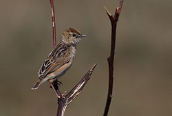 Wing-snapping cisticola, Cisticola ayresii, at Suikerbosrand Nature Reserve, Gauteng, South Africa (22023637133).jpg