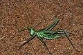 Winged Predatory Katydid (Clonia wahlbergi) (6860331798).jpg