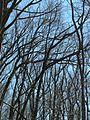 Winter canopy - Flickr - pellaea.jpg